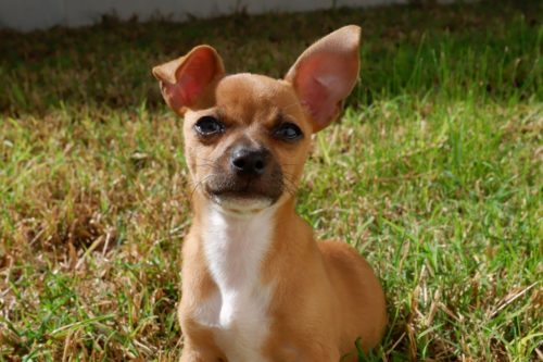 A chihuahua mix is shown in this photo