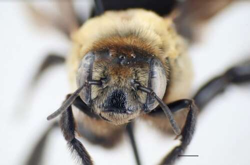A close-up photo of a hibiscus bee