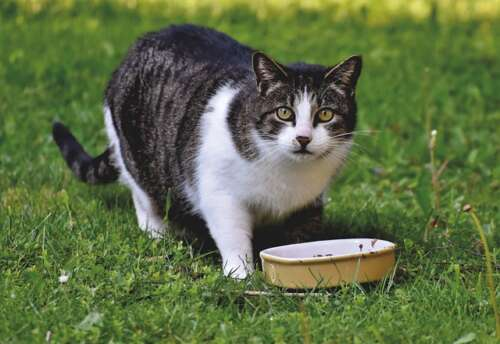 Photo shows a cat on a lawn eating from a bowl