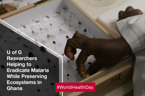 A hand adjusts insects on pins in a display case. Text reads: U of G Researchers Helping to Eradicate Malaria Whiel Preserving Ecosystems in Ghana
