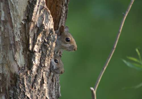 Two squirrels in a hole in a tree